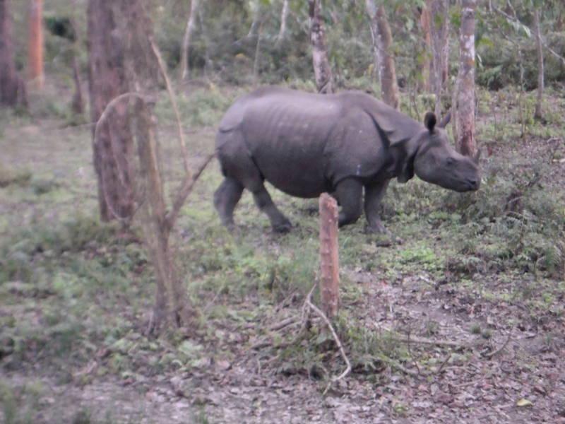 rinoceronte nepal