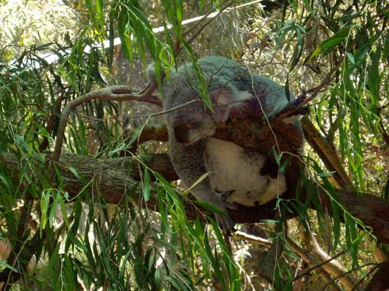 perth_zoo_koala