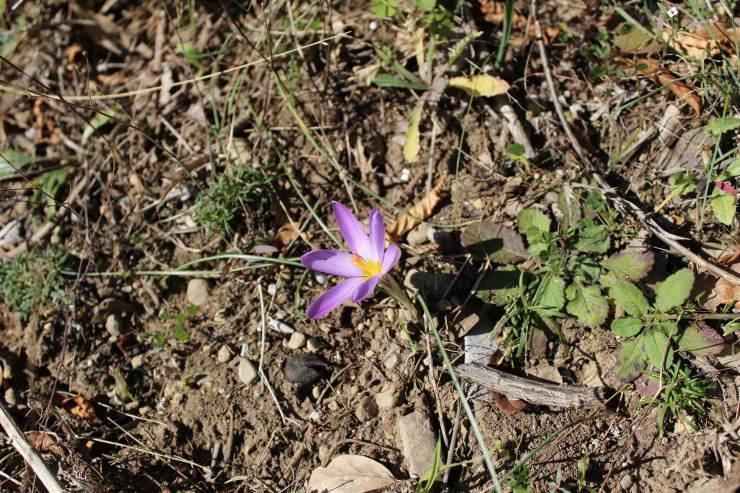 fiore di zafferano sul sentiero degli dei