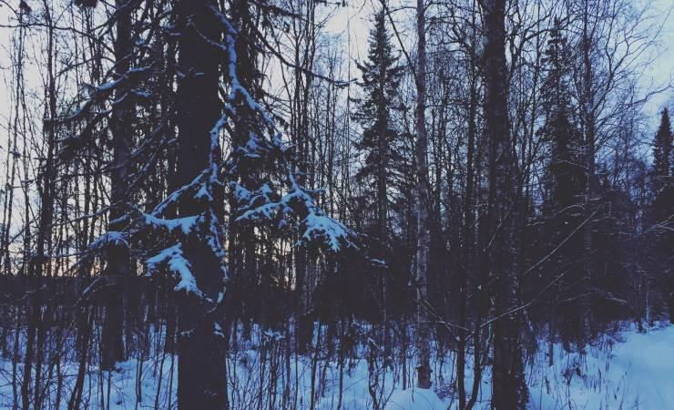 Lapponia boschi innevati