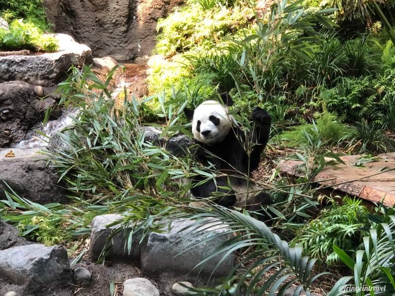 Zoo di Calgary Panda10
