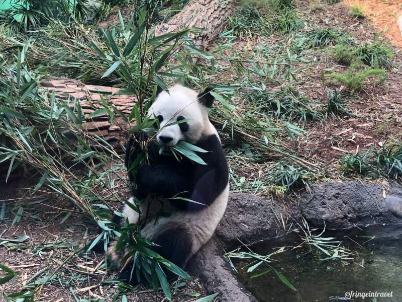 Zoo di Calgary Panda12