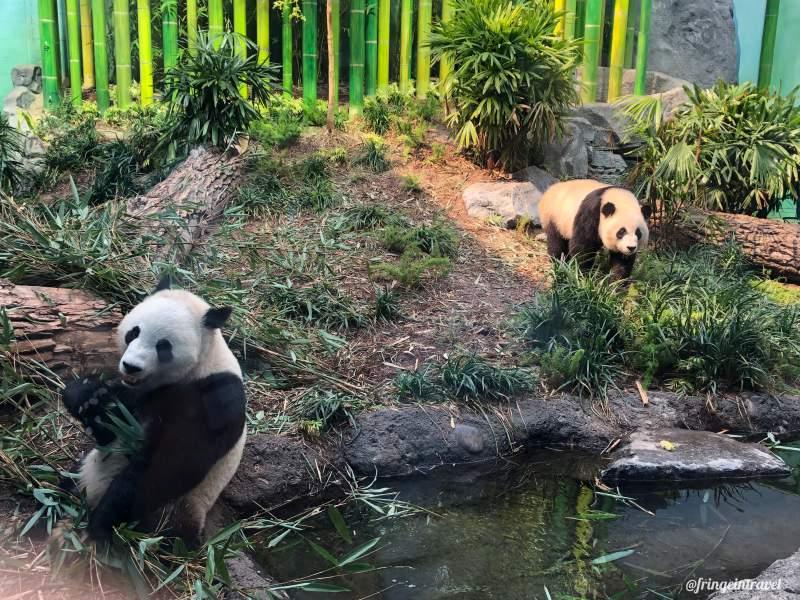 Zoo di Calgary Panda13