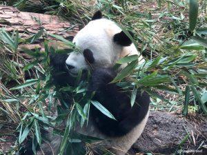 Zoo di Calgary Panda14