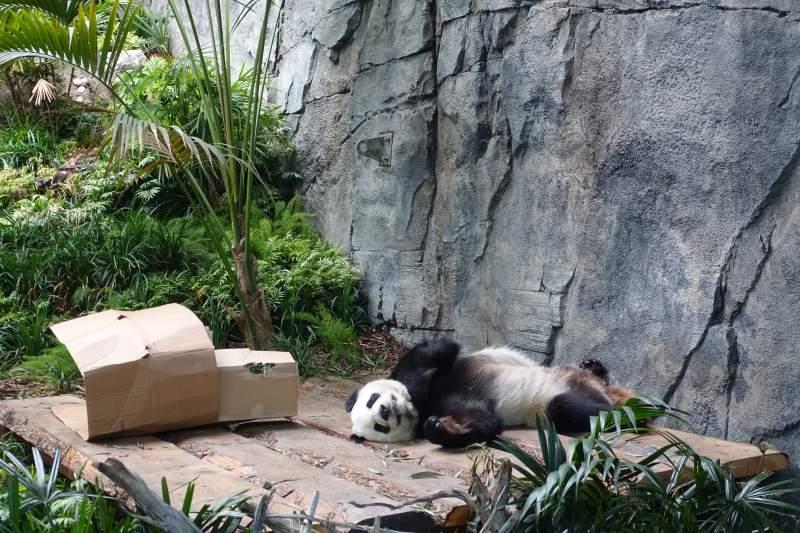 Zoo di Calgary Panda2