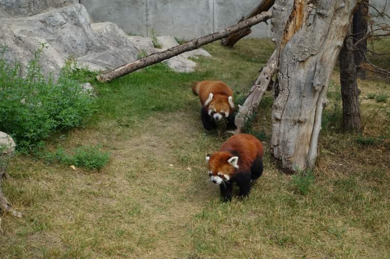 Zoo di Calgary Panda3