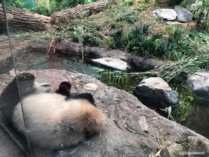 Zoo di Calgary Panda4