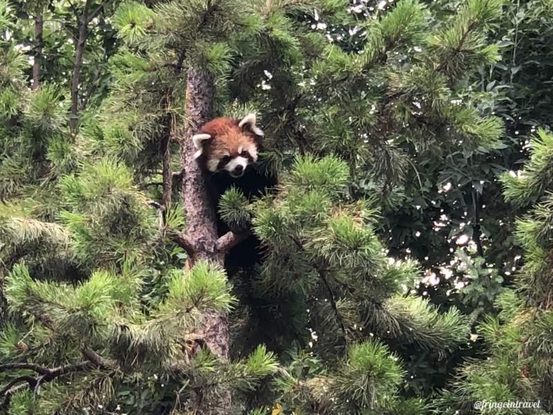 Zoo di Calgary Panda5