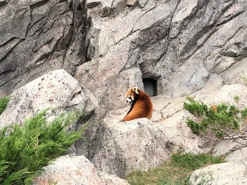 Zoo di Calgary Panda7