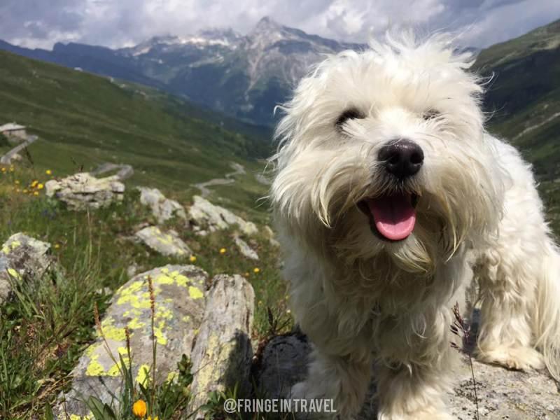 Cane maltese in montagna