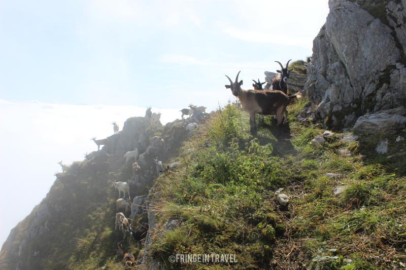cima Monte Cadria con le capre